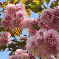 シロツメグサ/タンポポ/八重桜/春のフォト投稿キャンペーン/ありがとう平成/令和カウントダウン/... おはようございます☀ 今日も富士山は雲に…