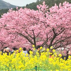 春/河津桜/菜の花/LIMIAおでかけ部/おでかけ/風景 今年も河津桜を見に行ってきました🌸 お天…