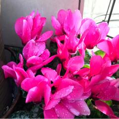 春/シクラメン/クリスマスローズ/多肉ちゃん/小さい春 今年も庭より片隅で元気にシクラメン咲いて…