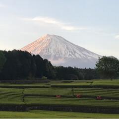 富士山と茶畑/富士山/大渕笹場/茶畑/春のフォト投稿キャンペーン/ありがとう平成/... 今日のおでかけのシメは、富士山🗻と茶畑🌱…(2枚目)