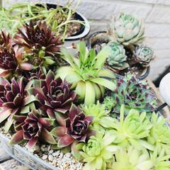 多肉植物/寄せ植え/グリーン/住まい/玄関 玄関先、多肉植物なんとなく寄せ植えしてみ…