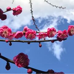 河津桜/蝋梅/白梅/紅梅/おでかけ/風景/... 岩本公園 8日から梅まつり 一足先に来て…