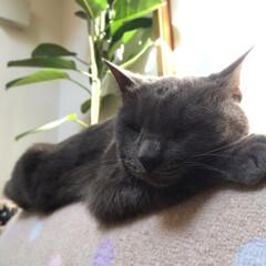 猫/ペット/にゃんこ同好会/ペット同好会/ねこ/癒し/... 若干白目になるほどのお昼寝zzz