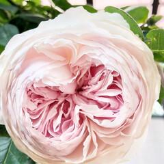 クリスティアーナ/薔薇が好き/バラ/ばら/ばらが咲いた/にわ/... クリスティアーナ🌹 今はもっと咲いていま…(2枚目)