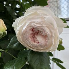 クリスティアーナ/薔薇が好き/バラ/ばら/ばらが咲いた/にわ/... クリスティアーナ🌹 今はもっと咲いていま…(1枚目)