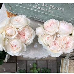 クリスティアーナ/薔薇が好き/バラ/ばら/ばらが咲いた/にわ/... クリスティアーナ🌹 今はもっと咲いていま…(5枚目)