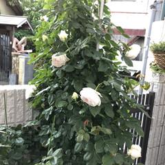 クリスティアーナ/薔薇が好き/バラ/ばら/ばらが咲いた/にわ/... クリスティアーナ🌹 今はもっと咲いていま…(3枚目)