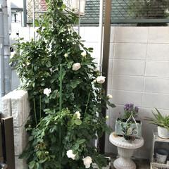 クリスティアーナ/薔薇が好き/バラ/ばら/ばらが咲いた/にわ/... クリスティアーナ🌹 今はもっと咲いていま…(4枚目)