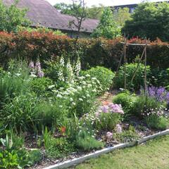 花の庭/イングリッシュガーデン 生垣をバックに宿根草が季節を演出 2週間…
