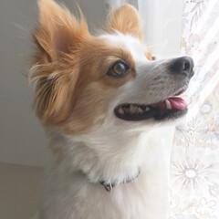 ポメパピ/窓際/空を見上げて/犬/リフォーム やんちゃポメパピのロイです。珍しく穏やか…