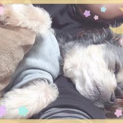 ペット/ワンコ/DAISO/チワプー/おやすみ いつも一緒に寝てるんですが… なんと…寝…