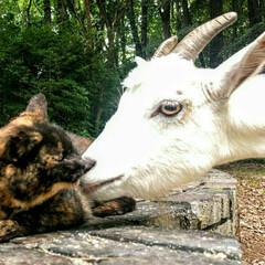 ヤギ/ペット/猫 ヤギのメリーちゃんと猫のサビィが 仲良く…