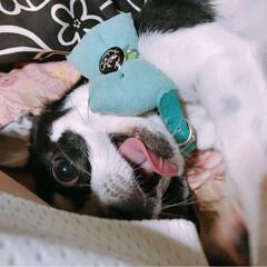 仕事から帰宅すると/大興奮😆して寝る(笑) 遊び方の激しさが増してます😆💕  可愛い…