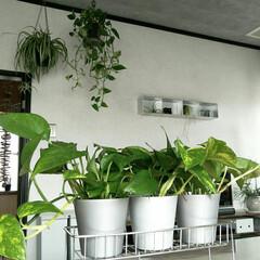 ポトス/壁に付けられる家具/グリーン/無印良品/住まい 無印良品鉢。無印良品ステンレス。無印良品…