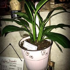ゴムの木/スパティフィラム/シルクジャスミン/パキラ/観葉植物/ダイソー/... 久しぶりにDAISOで植物を買いました😊…