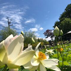 蓮の花/おでかけ 日本最北の蓮の池❣️ まだ沢山の蕾があり…