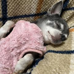 よく寝る/リラックス/膝の上/チワワ 保護犬だったネーナ。 一緒に寝たりしなか…