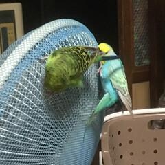 おもしろい/ペット/鳥/インコのいる暮らし/インコ/LIMIAペット同好会 蝉みたくなってる