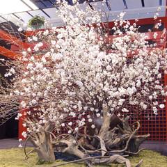 庭/ガーデニング/生花/ナチュラル/装飾/デコラティブ/... 和風の舞台スペースに桜の生花。庭園風の装…
