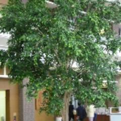 庭/ガーデニング/観葉植物/ナチュラル/装飾/デコラティブ ロビースペースの壁面緑化。大きな樹木があ…