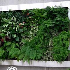 庭/ガーデニング/観葉植物/ナチュラル/装飾/デコラティブ フレーム式の壁面緑化。植物も成長するので…