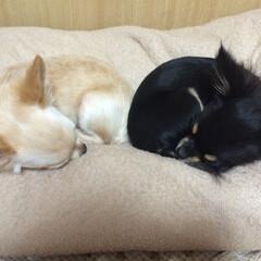 愛犬/犬/超小型犬/クリーム/ブラックタン/チワワ お尻くっつけておやすみなさい