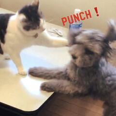 ペット/犬/猫/猫パンチ うちのペット犬(レイン)と猫(しずく) …