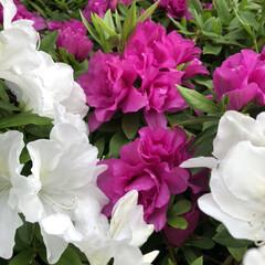 ツツジ/花/綺麗/春のフォト投稿キャンペーン/風景/暮らし 白いツツジとヒラドツツジがとても綺麗に咲…