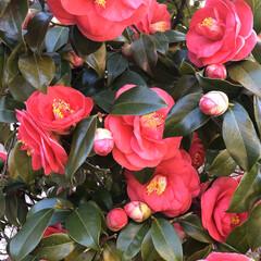 赤/庭/癒される/蕾/満開/綺麗/... 庭の椿が満開になりました❣️まだ蕾が沢山…