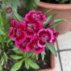 可愛い/綺麗/ナデシコ/花/風景/暮らし/... ナデシコの一種だと思うのですが、一つの茎…