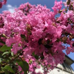 木/癒される/綺麗/庭/ピンク色/サルスベリ/... サルスベリの花のアップ撮ったら、実みたい…