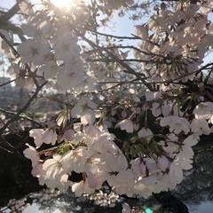 桜/花/ピンク/満開/綺麗/癒される/... 近くの堤防の桜が咲き始めました❣️朝の光…(1枚目)
