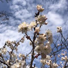 はな/満開/さくらんぼの花/さくらんぼ/住まい/暮らし さくらんぼの花咲きました🌸さくらんばは美…