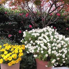 癒される/満開/可愛い/綺麗/小菊/菊/... 右の白い小菊は、今年苗から植えて、左の黄…