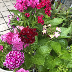 色とりどり/癒される/綺麗/庭/満開/てんとう虫/... 満開の撫子の隣に咲きかけの紫陽花が有りま…