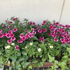 ダイソー/ナデシコ/花/綺麗/春のフォト投稿キャンペーン/風景/... 去年、ナデシコの種子を蒔きました。 なか…