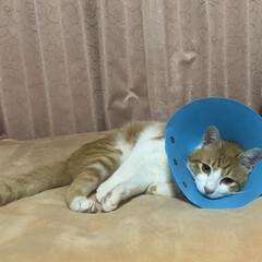 可哀想/去勢手術/癒される/可愛い/白と茶の子猫/子猫/... 今日、るるちゃん去勢の手術しました😹 可…