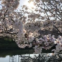 堤防/癒される/綺麗/満開/桜/暮らし 近くの堤防の桜が満開になりました🤗 とて…