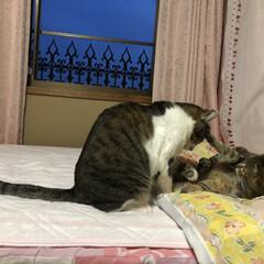 猫パンチ/可愛い/仲良し/いたずら/LIMIAファンクラブ/LIMIAペット同好会/... いたずらしようとした、ゆうちゃんがラブち…
