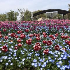 綺麗/チューリップ/花/春のフォト投稿キャンペーン/おでかけ/風景 父と母と一緒に馬見丘陵公園にチューリップ…