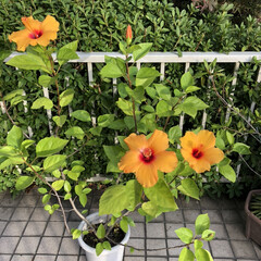 健気な花/癒される/綺麗/花/ハイビスカス🌺/暮らし 11月なのに綺麗にハイビスカスの花が咲き…
