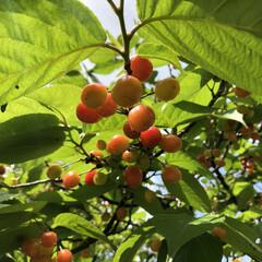美味しい/さくらんぼ/綺麗/春のフォト投稿キャンペーン/LIMIAファンクラブ/風景/... 我が家のさくらんぼの木なのですが、毎年一…