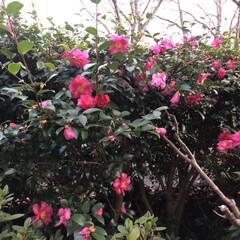 生垣/癒される/庭木/庭/満開/綺麗/... 山茶花の花が満開です❣️まだ沢山蕾がある…