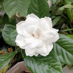 良い香り/癒される/綺麗/押木/くちなしの花/白い花/... 2年前に、頂いたくちなしの花を何鉢か押木…
