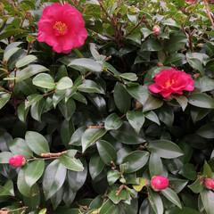 庭/癒される/癒し/綺麗/花/山茶花/... 生垣の山茶花が、花をつけ始めました☺️と…