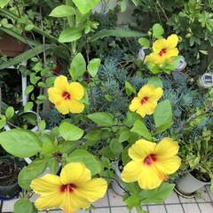 つぼみ/癒される/綺麗/花/黄色/ハイビスカス/... つぼみだったハイビスカス今日綺麗に咲きま…