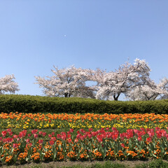 青空/深呼吸/癒される/綺麗/花畑/チューリップ/... 馬見公園に行ってきました❣️桜とチューリ…