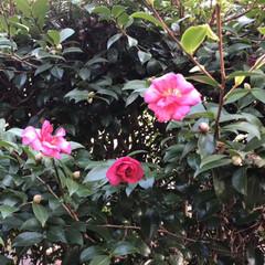 癒される/庭/蕾/早咲き/花/綺麗/... 生垣の山茶花が二輪だけ早く咲いていたので…