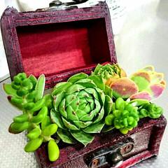インテリア/多肉植物/多肉植物寄せ植え/宝箱 宝箱から多肉植物~✨手のひらサイズなんで…