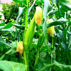 家庭菜園 トウモロコシ、収穫間近❗❗⤴⤴
